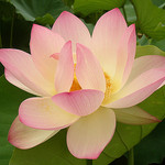 The Lotus Blosom symbol of Health and Wholeness